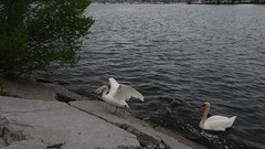 """""""Travel far enough, you meet yourself."""" _  David Mitchell (Trinimusic2008 -blessings) Tags: toronto ontario canada nature june spring rainy to today dull 2019 trinimusic2008 judymeikle asharedpath waterfrontrecreationaltrail water swans lakeontario cygnets mimico sonydschx80 game5"""