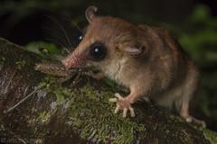 Tiny predator (antonsrkn) Tags: marmosa mousepossum marsupial wild nature wildlife animal eating predator cricket mammal ecuador yasuninationalpark macro small arboreal