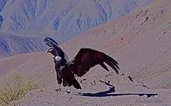 Cóndor Andino (anitareal) Tags: ave cóndor andes andino quebrada puna ancestral liberación libertad airelibre conservación argentina jujuy nikon