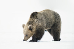 Female brown bear (msmedsru) Tags: bear spring snow martinselkonen finland easter