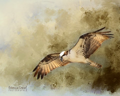 Osprey in flight (Duckprints) Tags: april2019 ducks geese nature ospry