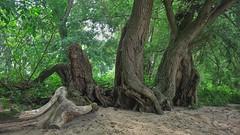 In den Rhein-Auen (nordelch61) Tags: deutschland hessen rheinauen heimat rheinwald weiden stamm stämme rinde wurzeln zweige äste blätter rheinufer auenland überschwemmungsgebiet weidenblätter sand strand woodlands tree enchanted trees fairytaleforest