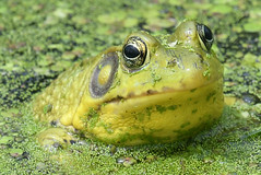 FGR_5289 (frodin78) Tags: bullfrog frogs animals nature wildlife amphibians