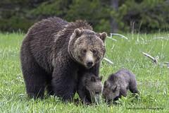 Watching Over Her Babies (Amy Hudechek Photography) Tags: grizzly cub baby coy wildlife nature ynp yellowstonenationalpark amyhudechek nikond500 nikon600mmf4