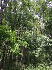 20190610_Stronegg_Ai_012 (Tauralbus) Tags: stronegg niederösterreich loweraustria wald forest