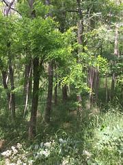 20190610_Stronegg_Ai_009 (Tauralbus) Tags: stronegg niederösterreich loweraustria wald forest