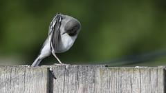 Hvid Vipstjert, White Wagtail, Bachstelze (Motacilla alba)-8138 (Kenneth Gerlach) Tags: animals animalsbird flowersplants fugle hvidvipstjert spring unge vipstjert vogel wildlife
