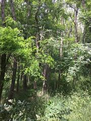 20190610_Stronegg_Ai_013 (Tauralbus) Tags: stronegg niederösterreich loweraustria wald forest