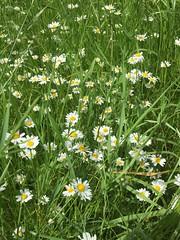 20190610_Stronegg_Ai_003 (Tauralbus) Tags: stronegg niederösterreich loweraustria margeriten blumen blumenwiese flower flowers