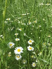 20190610_Stronegg_Ai_001 (Tauralbus) Tags: stronegg niederösterreich loweraustria margeriten blumen blumenwiese flower flowers