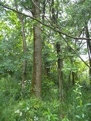 20190610_Stronegg_A_011 (Tauralbus) Tags: stronegg niederösterreich loweraustria wald forest
