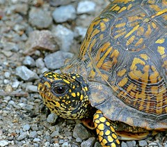 A Cooper Hollow Turtle (Eat With Your Eyez) Tags: turtle box shell neck eye markings animal water land slow walk nature outdoors reptile panasonic fz1000 nose friendly beautiful