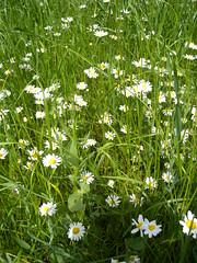 20190610_Stronegg_A_003 (Tauralbus) Tags: stronegg niederösterreich loweraustria margeriten blumen blumenwiese flower flowers