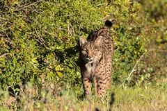Pardel Lynx Lynx pardina - Iberian Lynx Tail Raised (Barbara Evans 7) Tags: pardel lynx pardina iberian with tail raised cota donana spain barbara evans7