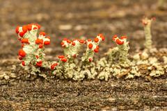 British Soldier Lichen (Cladonia cristatella) (cholmesphoto) Tags: ascomycota britishsoldierlichen cladonia cladoniacristatella cladoniaceae fungi lecanorales lecanoromycetes sacfungi fungus nature wildlife