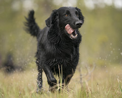 Playing dog (msmedsru) Tags: bog spring retriever dog play