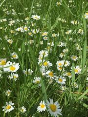 20190610_Stronegg_Ai_004 (Tauralbus) Tags: stronegg niederösterreich loweraustria margeriten blumen blumenwiese flower flowers