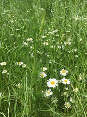 20190610_Stronegg_Ai_002 (Tauralbus) Tags: stronegg niederösterreich loweraustria margeriten blumen blumenwiese flower flowers