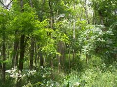 20190610_Stronegg_A_019 (Tauralbus) Tags: stronegg niederösterreich loweraustria wald forest
