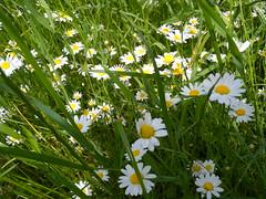 20190610_Stronegg_A_015 (Tauralbus) Tags: stronegg niederösterreich loweraustria margeriten blumen blumenwiese flower flowers