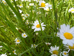 20190610_Stronegg_A_014 (Tauralbus) Tags: stronegg niederösterreich loweraustria margeriten blumen blumenwiese flower flowers