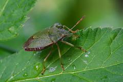 Dolycoris baccarum (oldTor) Tags: beetle insects insect macro macrophotography olympusom zuiko raynox olympus olympuslens dcr150 oldtor macroconversion macroconversionlens жук щитник насекомые мануальныеобъективы макрофото макро макрофотография макронасадки макролинзы райнокс