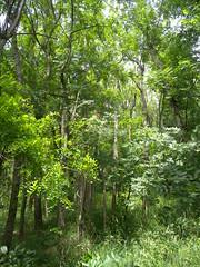 20190610_Stronegg_A_006 (Tauralbus) Tags: stronegg niederösterreich loweraustria wald forest