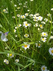 20190610_Stronegg_A_002 (Tauralbus) Tags: stronegg niederösterreich loweraustria margeriten blumen blumenwiese flower flowers