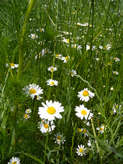 20190610_Stronegg_A_001 (Tauralbus) Tags: stronegg niederösterreich loweraustria margeriten blumen blumenwiese flower flowers