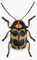 Cryptocephalus decemmaculatus (Linnaeus, 1758) (christoffer.fagerstrom) Tags: coleoptera chrysomelidae cryptocephalinae cryptocephalus decemmaculatus