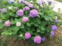 My pretty hydrangeas (karma (Karen)) Tags: baltimore maryland home bushes hydrangea blossoms iphone topf25