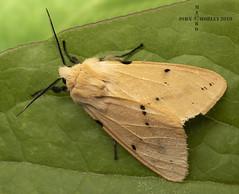 Buff Ermine Moth (John Chorley) Tags: macro macros macrophotography moth bufferminemoth 2019 closeup closeups johnchorley nature outdoor outdoors