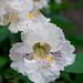 Catalpa Tree Flower 01