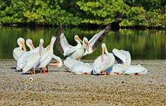 I'm Not Arguing I Am Explaining Why I Am Right (Ding) (Michiale Schneider) Tags: pelicans americanwhite bird nature water dingdarlingwildliferefuge sanibelisland florida michialeschneiderphotography