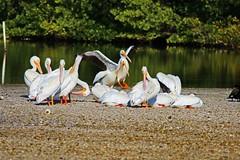 Mangled Hearts (Michiale Schneider) Tags: pelicans americanwhite bird nature water dingdarlingwildliferefuge sanibelisland florida michialeschneiderphotography