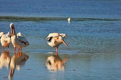Louder- I Cannot Hear You (Michiale Schneider) Tags: pelicans americanwhite bird nature water dingdarlingwildliferefuge sanibelisland florida michialeschneiderphotography