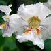 Catalpa Tree Flower 02