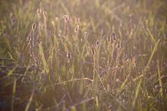 Herbs / Травы (Boris Kukushkin) Tags: herb macro sunset трава закат макро