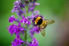 Week 24 Shoot Macro in Colour (Carol Dunham) Tags: projectsunday macro bee colour