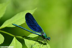 Libellule Bleue (Elouan Astrowild) Tags: insecte ruisseau cliousclat libellule nature macro drome france feuilles verdure vert foret