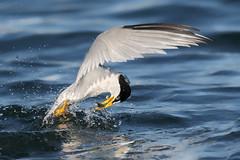Fishing like a boss! (bmse) Tags: canon7d2400mmf56l bmse salahbaazizi wingsinmotion least tern bolsa chica fish fishing