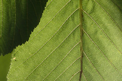 Green abstraction / Зелёная абстракция (Boris Kukushkin) Tags: green leaf chestnut abstraction abstract лист каштан абстракция макро macro