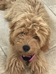 Maggie before grooming