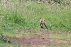 Red fox, Vulpes vulpes (Geckoo76) Tags: redfox vulpesvulpes fox