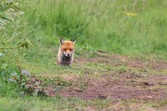 Red fox, Vulpes vulpes  (9) (Geckoo76) Tags: redfox vulpesvulpes fox