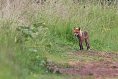 Red fox, Vulpes vulpes  (5) (Geckoo76) Tags: redfox vulpesvulpes fox