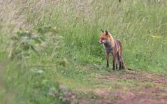 Red fox, Vulpes vulpes  (6) (Geckoo76) Tags: redfox vulpesvulpes fox