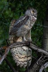 Owl stretch (1 of 1) (Jami Bollschweiler Photography) Tags: owl stretch utah photography great horned wildlife bird