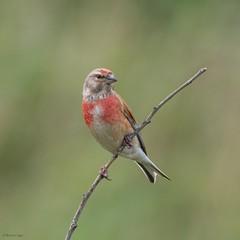 Linnet (kc02photos) Tags: linnet linariacannabina minsmere suffolk uk birdphotography