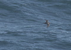 Black-vented Shearwater, Monterey Co., CA_9396(1) (Patterns and Light) Tags: california puffinus puffinusopisthomelas opisthomelas